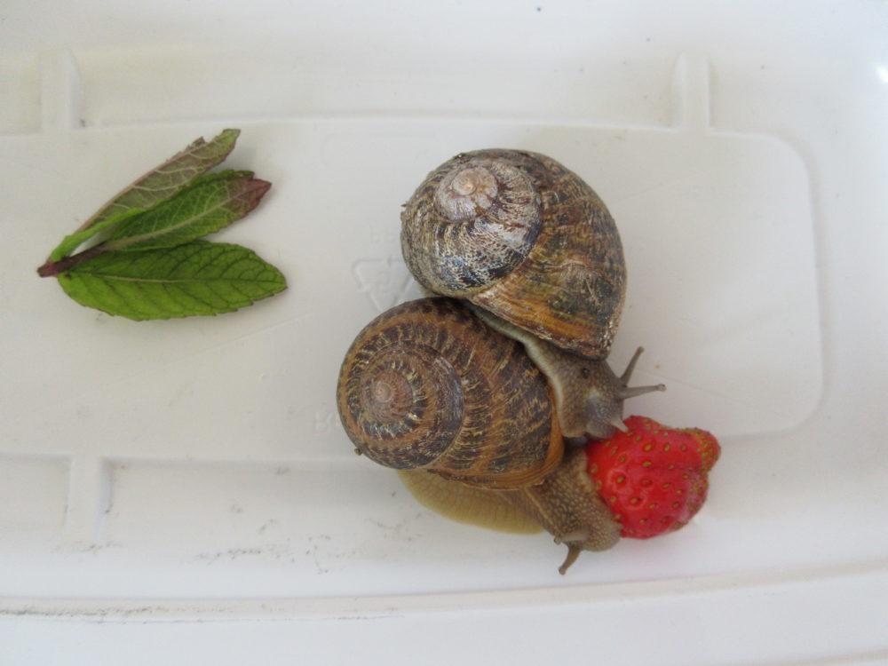 Ils mangent la fraise